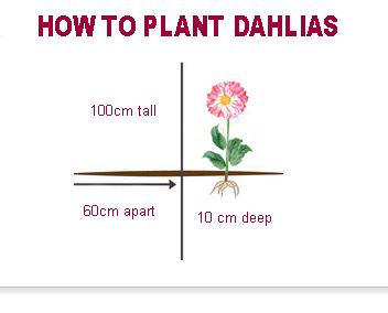 dahlia growing guide gardenpost