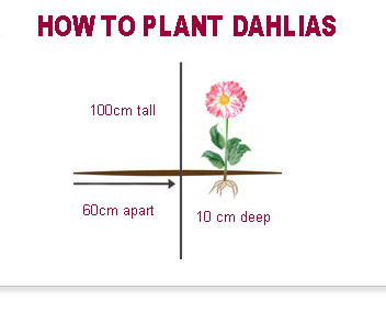 Dahlia Growing Guide Gardenpost