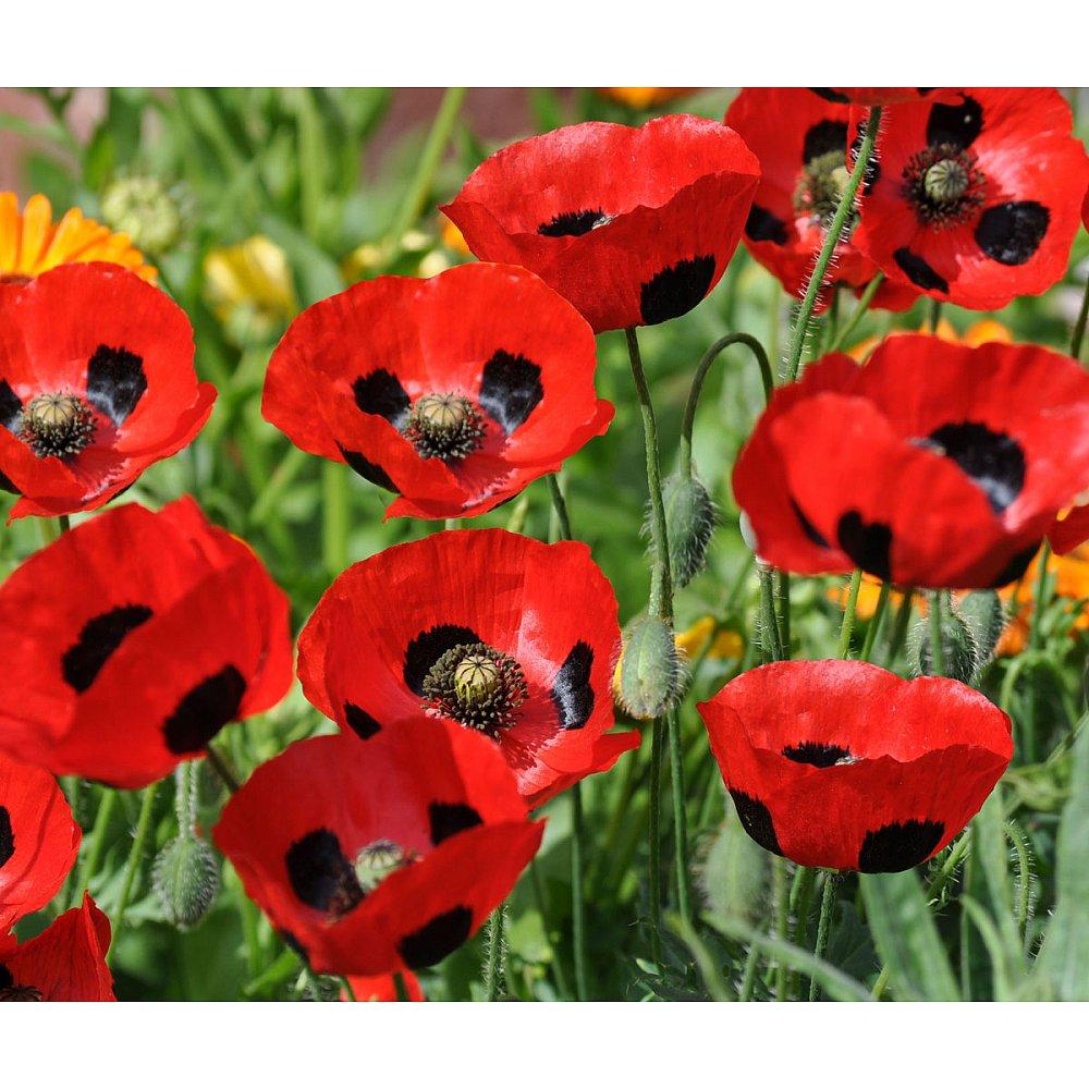 Pavaver Ladybird Poppy Gardenpost