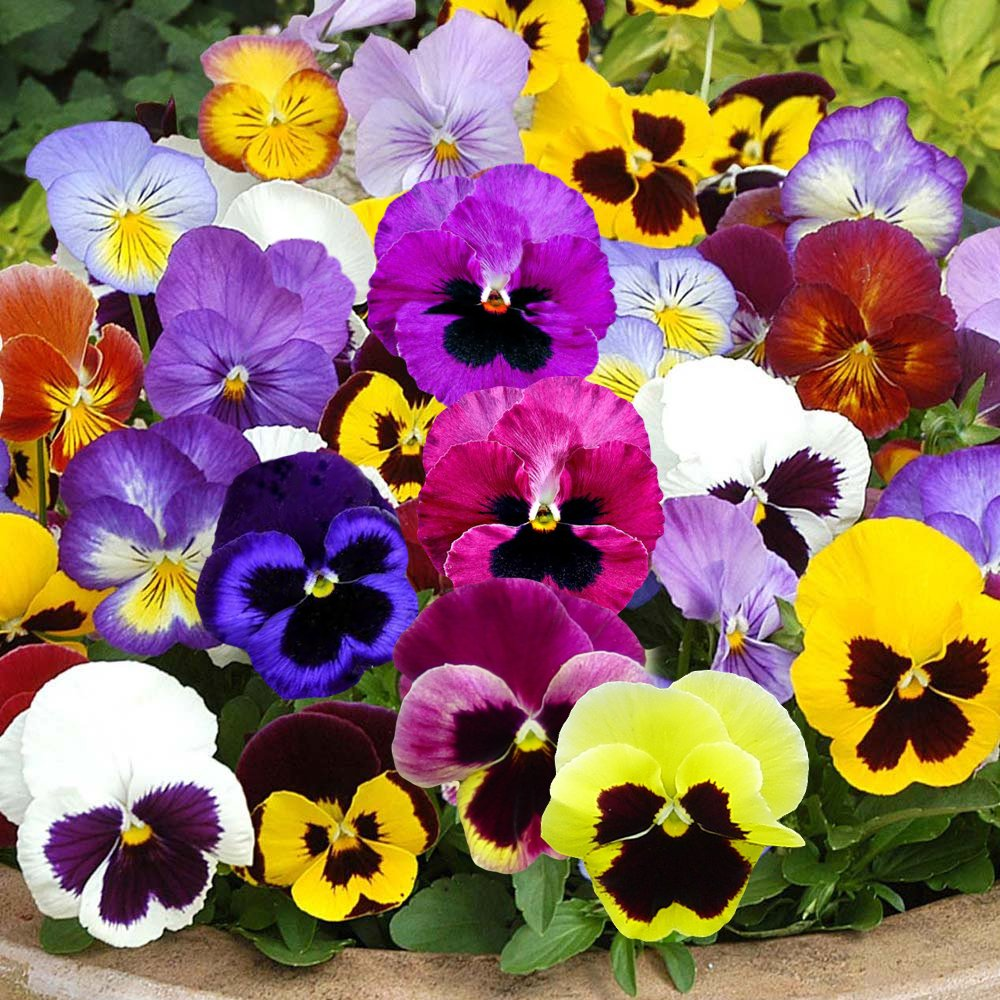 Viola Pansy Swiss Giants Mix Gardenpost